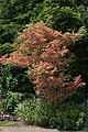 Acer palmatum 'Kagiri-nishiki'.jpg