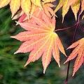 Acer shirasawanum 'Autumn Moon' in Auckland Botanic Gardens 01.jpg