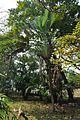 Acharya Jagadish Chandra Bose Indian Botanic Garden - Howrah 2011-01-08 9865.JPG
