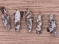 Achroia grisella cocoons, kleine wasmot cocons.jpg