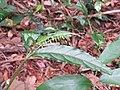 Achyranthes bidentata - Paithalmala (3).jpg