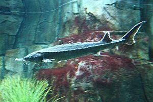 Atlantic sturgeon - Aquarium du Québec
