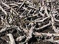 Acorus calamus rhizomes.jpg
