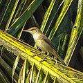 Acrocephalus stentoreus, clamorous reed warbler.jpg