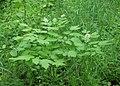 Actaea spicata kz01.jpg