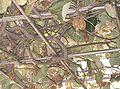 Actinidia chinensis5.jpg