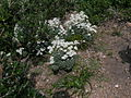 Actinotus helianthi plant4 (8372183244).jpg