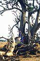 Adansonia digitata L. (4664034698).jpg
