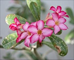 Adenium obesum - Adeniunm obesum flowers and leaves