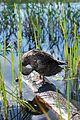 Adirondacks - duck - 05.jpg