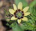 Adonis aestivalis inflorescence (21).jpg