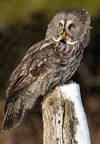 Great grey owl - Adult male great grey owl (Canada)