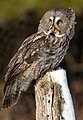 Adult male Great Grey Owl (Canada).jpg
