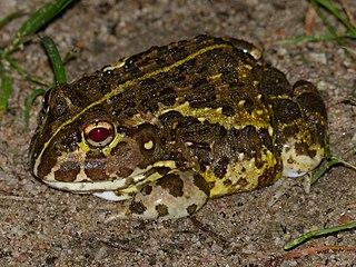 Edible bullfrog species of amphibian