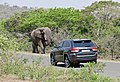 African Elephant (Loxodonta africana) bull on the road ... (32262890115).jpg