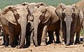African Elephants (Loxodonta africana) female ... (40280867503).jpg