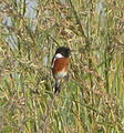 African Stonechat.JPG