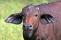 African buffalo (Syncerus caffer caffer) juvenile head.jpg