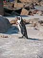 African penguin, Cape Town (P1050585).jpg