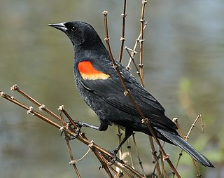 Red-winged blackbird Species of bird in North and Central America