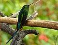Aglaiocercus kingi (Silfo coliverde) (14457779597).jpg