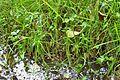 Agrostis stolonifera water.jpg