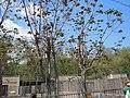Ailanthus altissima, Odessa Zoo.jpg