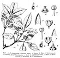 Aistopetalum viticoides Schert.jpg