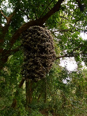 Dillenia indica - Albinistic Dillenia indica in Pakke Tiger Reserve, Arunachal Pradesh, India