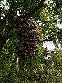 Albinistic Dillenia indica in Pakke Tiger Reserve.JPG