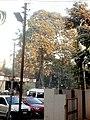 Albizia lebbeck शिरीष at Akola, Maharashtra, India.jpg