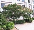 Albizzia julibrissin in Sevastopol 1.jpg