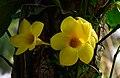 Allamanda-cathartica-flower-from-kottayam-kerala-1.jpg