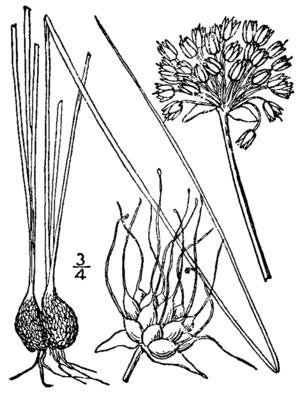 Allium canadense - Image: Allium canadense drawing