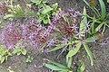 Allium cristophii kz04.jpg