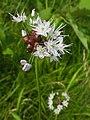 Allium macrostemon 1.JPG