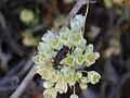 Allium pallens Inflorescencia 2010-6-06 SierraMadrona.jpg