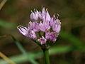 Allium senescens pn2.JPG