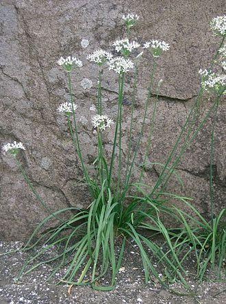 Allium tuberosum - Flowering garlic chives