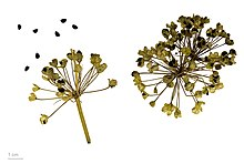 220px Allium tuberosum MHNT.BOT.2013.22.61