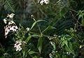 Alloispermum caracasanum 2.jpg