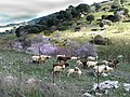 Almond blossom and goats (5561004791).jpg