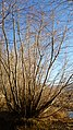 Alnus incana var. tenuifolia 3.jpg