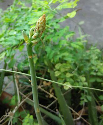 Aloe vera - Aloe vera buds