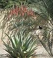Aloe littoralis 02.jpg