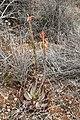 Aloe microstigma (Asphodelaceae Xanthorrhoeaceae) (39850893964).jpg