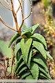Aloe pearsonii in Botanischer Garten Muenster.jpg