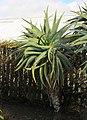 Aloe speciosa, Victoria Esplanade Park (9).jpg