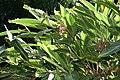 Alpinia zerumbet 30zz.jpg