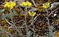 Alyssum montanum 02.jpg